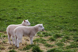 Two Lambs in a Scottish Field, One Bleating Photographic Print by Diane Macdonald