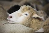 Sheep Herded for Wool Papier Photo par Tarick Foteh