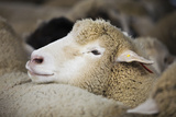 Sheep Herded for Wool Photographic Print by Tarick Foteh