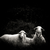 Two Sheep Looking at You Photographic Print by raffaella castagnoli
