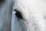 Dappled Grey Horse Eye Lashes Photographic Print by Erin Smallwood