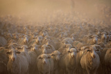 Flock of Domestic Sheep (Ovis Aries), Naudes Neck, Eastern Cape Province, South Africa Photographic Print by Gallo Images/George Brits