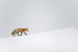 Red Fox, Yellowstone National Park Photographic Print by Ben Cranke