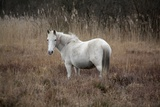 Feral White New Forest Pony Photographic Print by rosalind morgan