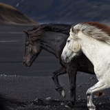 Icelandic Horses Photographic Print by  Arctic-Images