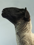 Black Faced Sheep in Profile Fotoprint van The Plummer-Kennedy Conspiracy