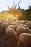 Sheeps in Dehesa, Typical Pasture of Extremadura. Photographic Print by Gonzalo Azumendi