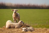 Spring Lambs Photographic Print by Rich Jones Photography