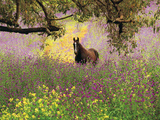 Thoroughbred Horse among Wildflowers in the Chittering Valley, Western Australia Photographic Print by Peter Walton Photography