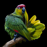 Lilacine Amazon Parrot Isolated on Black Backgro Photographic Print by Photo by Steve Wilson