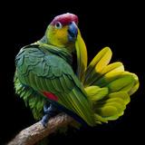 Lilacine Amazon Parrot Isolated on Black Backgro Lámina fotográfica por Photo by Steve Wilson