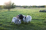 Four Sheep on Pasture Photographic Print by Bjurling, Hans