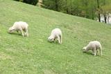 Three Sheeps in Rokkosan Photographic Print by KanekoDaiDesignOffice Caramel