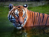 Intense Tiger Gaze Photographic Print by Sandra L. Grimm