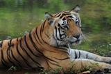 Tiger Photographic Print by CLICKED IMAGEZ BY CHETAN RANA