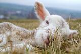 Newborn Lamb Fotoprint van TJ Blackwell