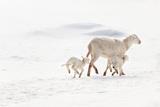 Ewe and Twin Lambs in Snow Photographic Print by Adeena Pentland