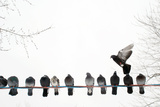 Row of Pigeons on Wire Reproduction photographique par Ernest McLeod