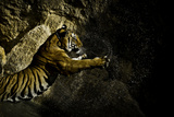 Tiger Plays in Water Photographic Print by Image by David Koiter