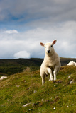 Spring Lamb on Hillside Photographic Print by Kevin Day