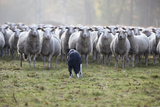 Flock of Sheep and Dog Reproduction photographique par  MarcusRudolph.nl