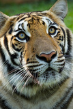 Thai Tiger Photographic Print by Photo by Sayid Budhi