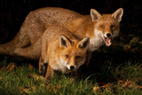 Fox Siblings Photographic Print by  S.Mcgrath