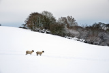 Sheep (Ovis Aries) in a Snow Covered Field Photographic Print by Mike Hill