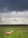 Icelandic Pony. Photographic Print by Grant Faint