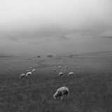 Sheep Grazing Photographic Print by Sonja Rolton