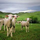 Lambs in Wyoming Fotografisk tryk af Danielle D. Hughson