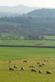 Herd of Sheep Grazing on Grass Photographic Print by Dr T J Martin