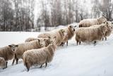 Sheep Herd Waking on Snow Field Papier Photo par coolbiere photograph