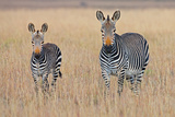 Plains Zebra (Equus Quagga) with Foal in Grasslands, Mountain Zebra National Park, Eastern Cape Pro Photographic Print by George Brits