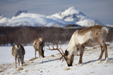 Reindeer in Arctic Landscape, Tromso, Norway Photographic Print by Tim Graham