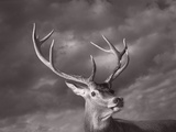 Red Deer Photographic Print by Tim Flach