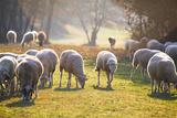 Sheep Herd Fotoprint van Azem Ramadani