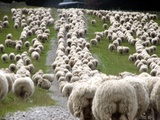 Romney Sheep Mob Trailing to Yards. Fotoprint van Cathie Bell