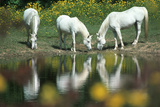 Anim031 Chincoteague Wild Ponies, VA Photographic Print by Kjell Sandved
