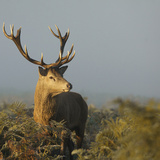 Red Deer Stag Photographic Print by Copyright Alex Berryman