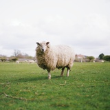 Sheep Photographic Print by Carl John Spencer