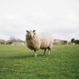 Sheep Photographic Print by Carl John Spencer