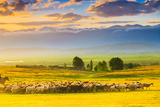Bathed in Sunset Light Sheep on Grassland Photographic Print by Feng Wei Photography