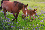 Horse on Bluebonnet Trail Reproduction photographique par David Hensley