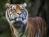 Sumatran Tiger Photographic Print by Allan Baxter