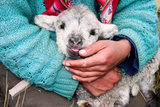 Lamb Sitting on Shepherd-Girl's Lap, Pastoruri Park. Photographic Print by Uros Ravbar