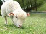 Sheep in Rokkosan Photographic Print by KanekoDaiDesignOffice Caramel