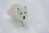 Arctic Fox in Winter, White Fur Photographic Print by Roger Eritja