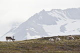 Europe, Norway, Spitsbergen, Svalbard, Reindeers Grazing on Grass Photographic Print by  Westend61