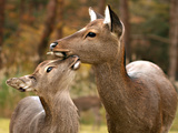 Mother Deer Photographic Print by by Jon Climpson